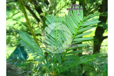Cephalotaxus harringtonia. Cefalotasso. Foglia. Pagina inferiore