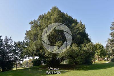 Taxus baccata. European yew