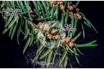 Taxus baccata. European yew. Male strobilus