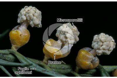 Taxus baccata. Tasso. Strobilo maschile