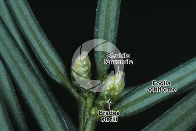 Taxus baccata. Tasso. Strobilo femminile