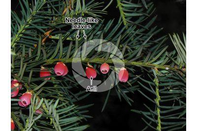 Taxus baccata. European yew. Strobilus