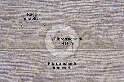 Taxus baccata. Tasso. Fusto. Sezione longitudinale radiale. 64X