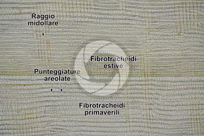 Taxus baccata. Tasso. Fusto. Sezione longitudinale radiale. 125X