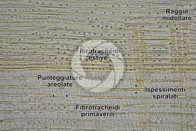 Taxus baccata. Tasso. Fusto. Sezione longitudinale radiale. 250X