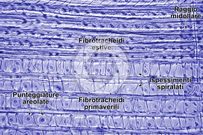 Taxus baccata. Tasso. Fusto. Sezione longitudinale radiale. 500X
