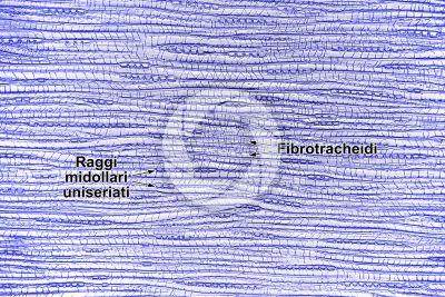 Taxus baccata. Tasso. Fusto. Sezione longitudinale tangenziale. 125X