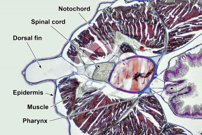 Branchiostoma sp. Lancet. Spinal cord and notochord. Transverse section. 64X