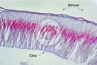 Branchiostoma sp. Lancet. Intestine. Transverse section. 500X