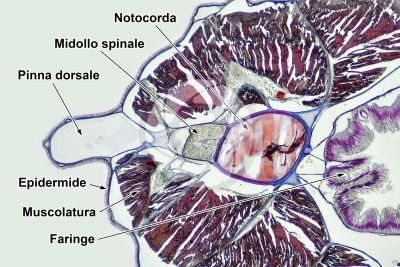 Branchiostoma sp. Anfiosso. Midollo spinale e notocorda. Sezione trasversale. 64X