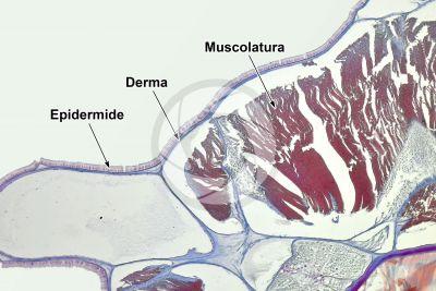 Branchiostoma sp. Anfiosso. Cute e epidermide. Sezione trasversale. 100X