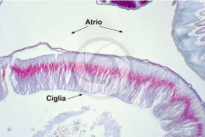 Branchiostoma sp. Anfiosso. Intestino. Sezione trasversale. 250X
