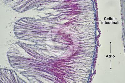 Branchiostoma sp. Anfiosso. Intestino. Sezione trasversale. 1000X