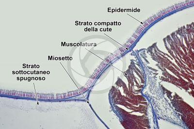 Branchiostoma sp. Anfiosso. Cute e epidermide. Sezione trasversale. 250X