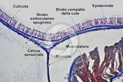 Branchiostoma sp. Anfiosso. Cute e epidermide. Sezione trasversale. 500X