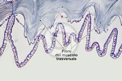 Branchiostoma sp. Anfiosso. Fibra del muscolo trasversale. Sezione trasversale. 500X