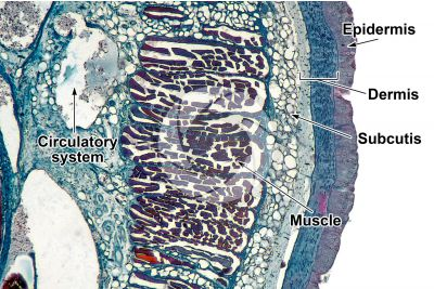Petromyzon sp. Lamprey. Skin and epidermis. Transverse section. 64X