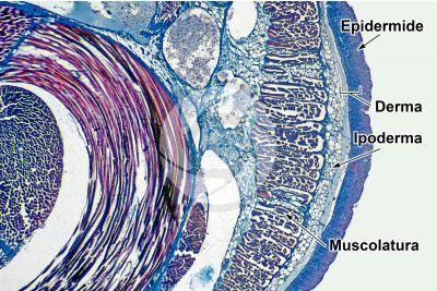 Petromyzon sp. Lampreda. Cute e epidermide. Sezione trasversale. 32X