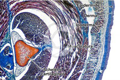 Petromyzon sp. Lampreda. Epidermide e scheletro. Sezione trasversale. 32X