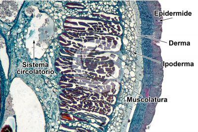 Petromyzon sp. Lampreda. Cute e epidermide. Sezione trasversale. 64X