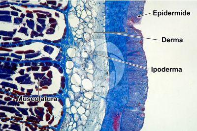 Petromyzon sp. Lampreda. Cute e epidermide. Sezione trasversale. 100X