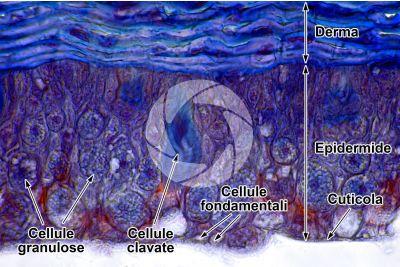 Petromyzon sp. Lampreda. Cute e epidermide. Sezione trasversale. 500X