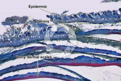 Cyprinus sp. Skin and epidermis. Vertical section. 64X