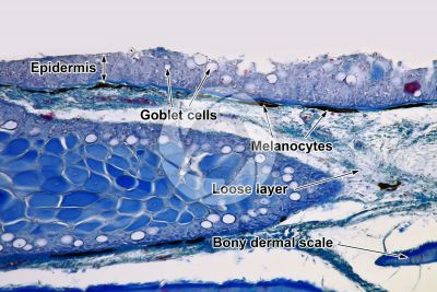 Cyprinus sp. Skin and epidermis. Vertical section. 100X