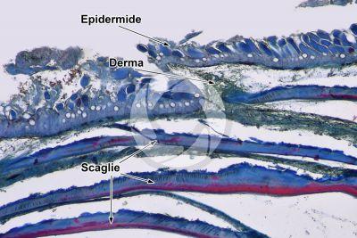 Cyprinus sp. Cute e epidermide. Sezione verticale. 64X