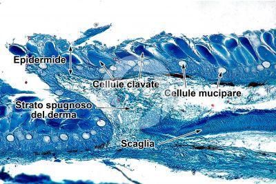 Cyprinus sp. Cute e epidermide. Sezione verticale. 100X