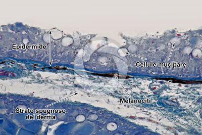 Cyprinus sp. Cute e epidermide. Sezione verticale. 250X