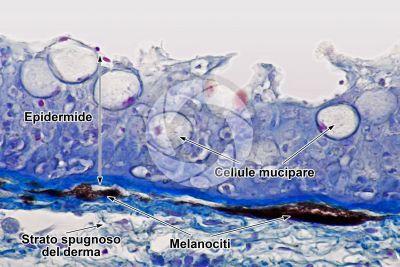 Cyprinus sp. Cute e epidermide. Sezione verticale. 500X