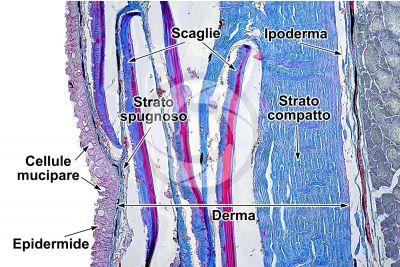 Cyprinus carpio. Carpa. Cute e epidermide. 100X