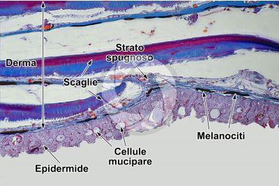 Cyprinus carpio. Carpa. Cute e epidermide. 250X