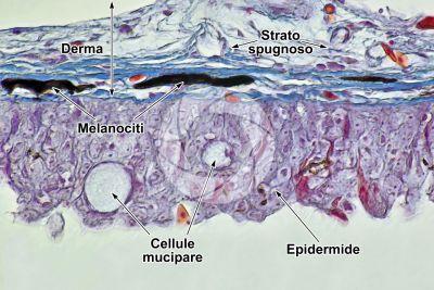 Cyprinus carpio. Carpa. Cute e epidermide. 500X