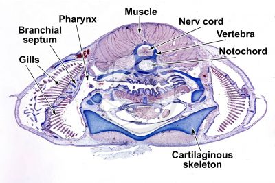 Scyliorhinus sp. Scyllium sp. Dogfish. Transverse section. 1X
