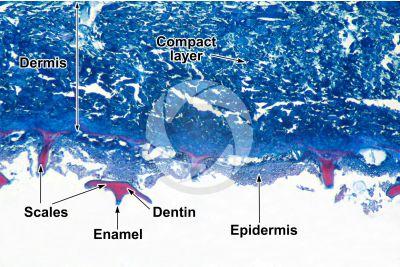 Scyliorhinus sp. Scyllium sp. Dogfish. Skin and epidermis. Vertical section. 32X