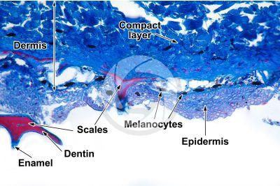 Scyliorhinus sp. Scyllium sp. Dogfish. Skin and epidermis. Vertical section. 64X