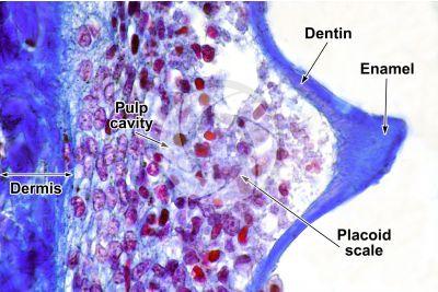 Scyliorhinus sp. Scyllium sp. Dogfish. Skin and epidermis. Vertical section. 500X