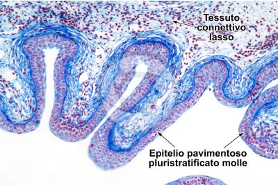 Scyliorhinus sp. Scyllium sp. Pescecane. Cavità orale. Sezione verticale. 125X