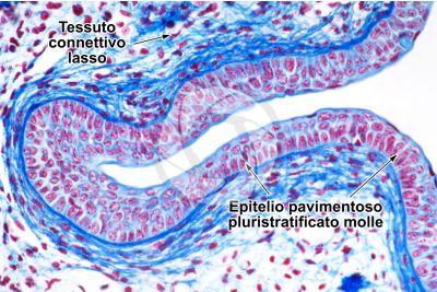 Scyliorhinus sp. Scyllium sp. Pescecane. Cavità orale. Sezione verticale. 250X