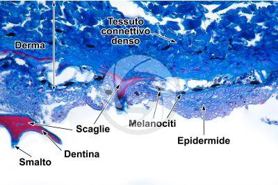 Scyliorhinus sp. Scyllium sp. Pescecane. Cute e epidermide. Sezione verticale. 64X