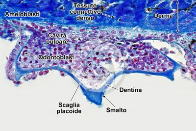 Scyliorhinus sp. Scyllium sp. Pescecane. Cute e epidermide. Sezione verticale. 250X