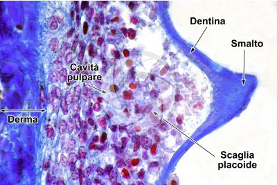 Scyliorhinus sp. Scyllium sp. Pescecane. Cute e epidermide. Sezione verticale. 500X