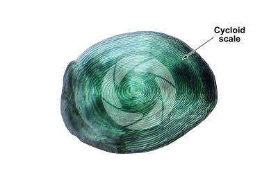 Cycloid scale