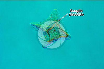 Scyliorhinus sp. Scyllium sp. Pescecane. Scaglia placoide