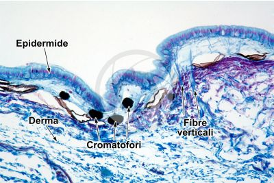 Rana sp. Rana. Girino. Cute e epidermide. Sezione verticale. 100X