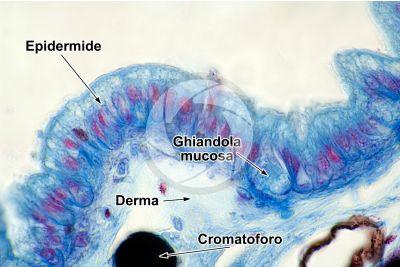 Rana sp. Rana. Girino. Cute e epidermide. Sezione verticale. 500X