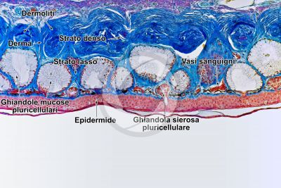 Rana sp. Rana. Cute e epidermide. Sezione verticale. 100X