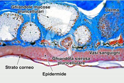 Rana sp. Rana. Cute e epidermide. Sezione verticale. 250X